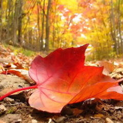 City of Decorah offers options for leaf disposal