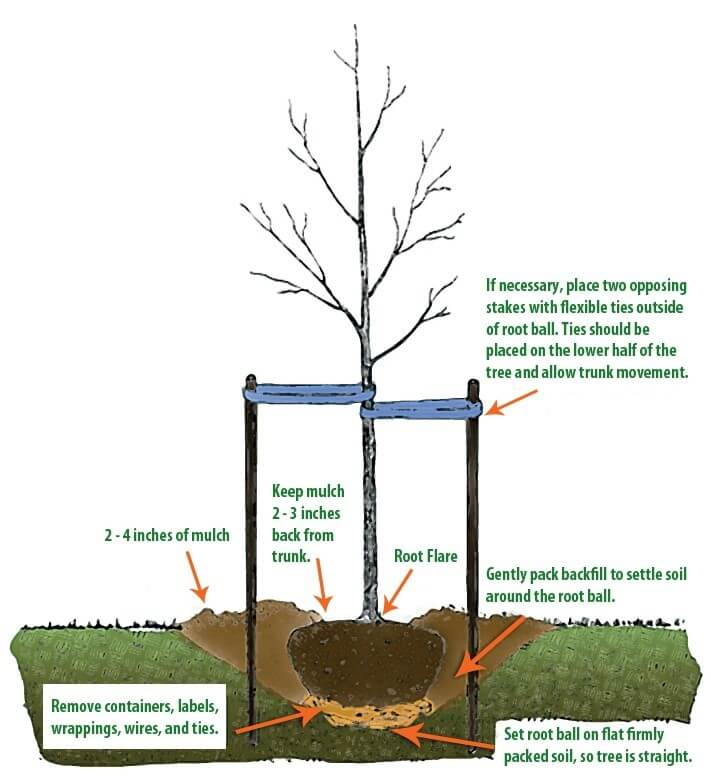How To Plant And Care For A Tree City Of Decorah Iowa